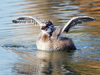 Photograph - Pied-billed Grebe Juvenile 1637-060317-1cr by Tam Ryan