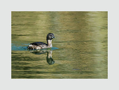 Photograph - Pied-billed Grebe Swimming by Edward Peterson