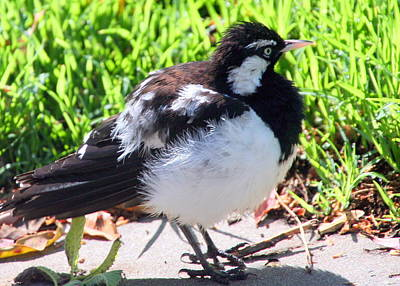 Photograph - Pied Butcherbird by Laurel Talabere