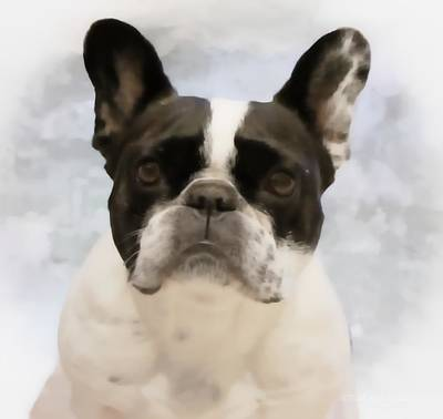 French Bulldog Painting - Pied Elegance by Barbara Chichester