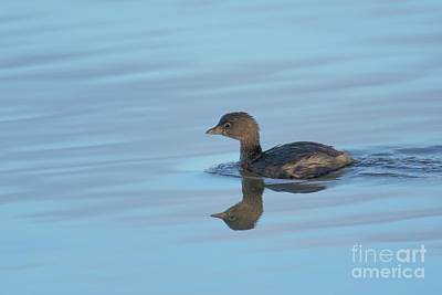 Photograph - Pied Grebe by Craig Leaper