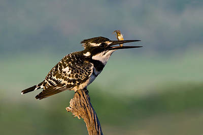 Pied Kingfisher Original by Basie Van Zyl