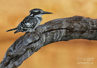 Photograph - Pied Kingfisher Perched by Myrna Bradshaw