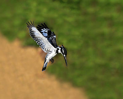 Pied Kingfisher Art Print by Tony Beck