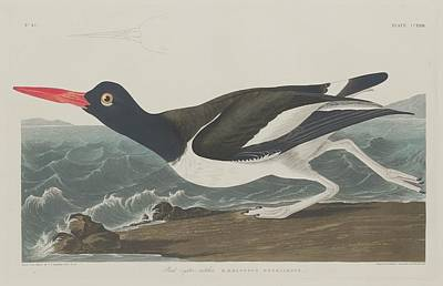 Oyster Drawing - Pied Oyster-catcher by Dreyer Wildlife Print Collections