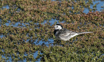 Photograph - Pied Wagtail  by Wendy Cooper