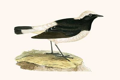 Flycatcher Drawing - Pied Wheatear by English School