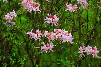 Photograph - Piedmont Azalea Bush by Kathryn Meyer