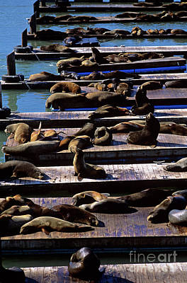 Photograph - Pier 39 With Sea Lions  by Jim Corwin