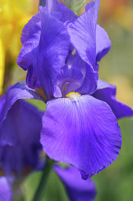 Royalty-Free and Rights-Managed Images - Pierre Menard CloseUp. The Beauty of Irises by Jenny Rainbow