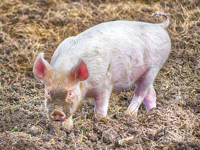Photograph - Pig In Muck by Linsey Williams