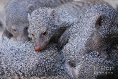 Photograph - Pig Pile Of Sleepy Dwarf Mongooses by DejaVu Designs