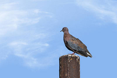 Photograph - Pigeon 1 by Isam Awad