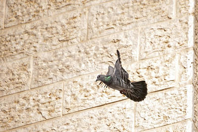 Photograph - Pigeon 2 by Isam Awad