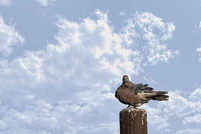 Photograph - Pigeon 3 by Isam Awad