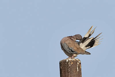 Photograph - Pigeon 5 by Isam Awad