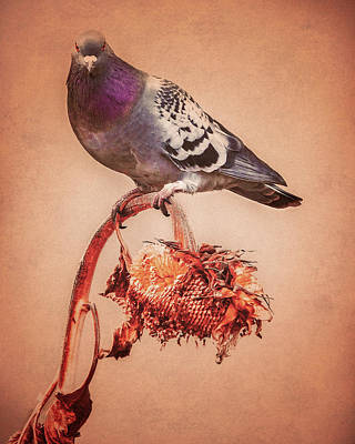 Photograph - Pigeon And Sunflower by Bob Orsillo