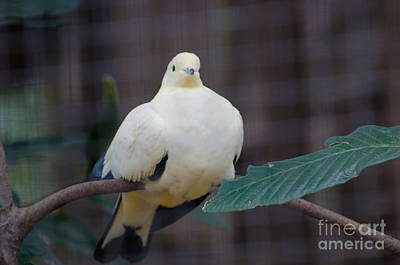 Photograph - White Pigeon by Donna Brown
