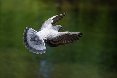 Photograph - Pigeon Flying by Keith Boone