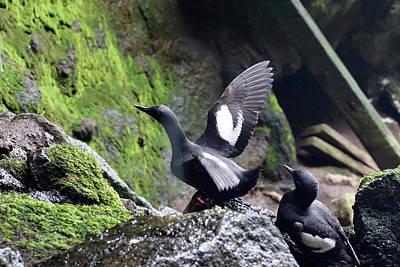 Photograph - Pigeon Guillemot #1 by Ben Upham III