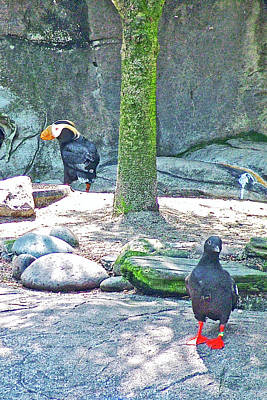 Photograph - Pigeon Guillemot And Tufted Puffin In Oregon Coast Aquarium In Newport, Oregon by Ruth Hager