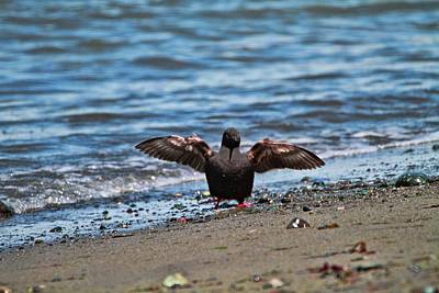 Photograph - Pigeon Guillemot Dance by Dan Sproul