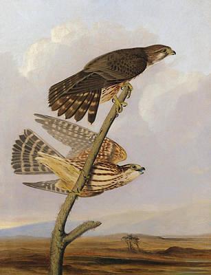 Painting - Pigeon Hawk. Falco Columbarius by Joseph Bartholomew Kidd