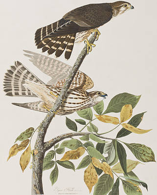 Hawk Painting - Pigeon Hawk by John James Audubon