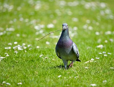 Pigeon In Spring Art Print
