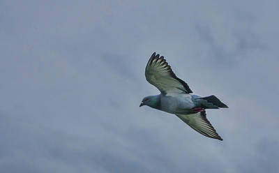 Photograph - Pigeon In Flight by Marilyn Wilson