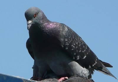 Pigeon On A Roof Art Print by Lori Seaman