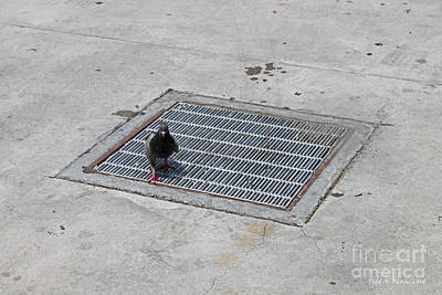 Photograph - Pigeon by Todd Blanchard