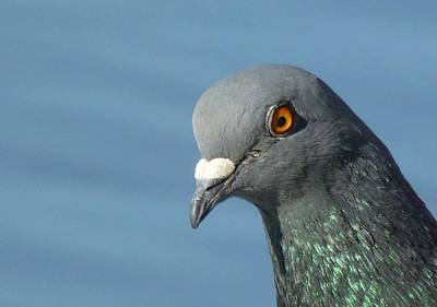 Photograph - Pigeon by Tracey Harrington-Simpson
