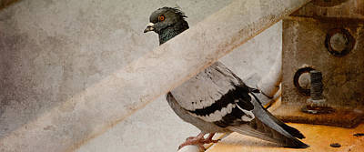 Photograph - Pigeon by WB Johnston