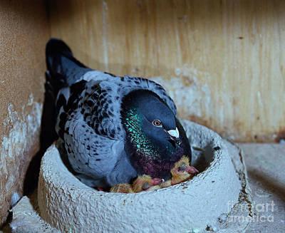 Pigeon With Chicks Art Print