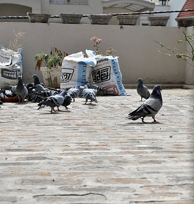 Photograph - Pigeons 1 by Sumit Mehndiratta