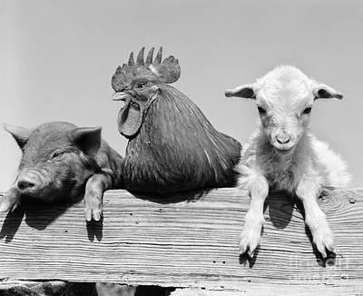 Photograph - Piglet, Rooster And Lamb, C.1960s by D Corson ClassicStock