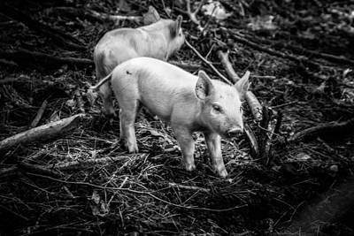 Photograph - Piglets Looking For Dinner by Jeff Folger