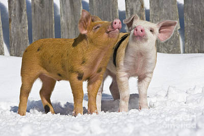 Litter Mates Photograph - Piglets Playing In Snow by Jean-Louis Klein & Marie-Luce Hubert
