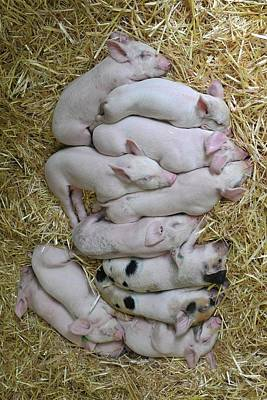 Domestic Animals Photograph - Piglets by Rebecca Richardson