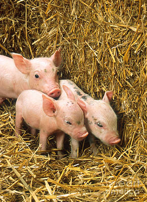 Piglets Art Print by Science Source