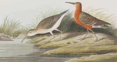 Edge Painting - Pigmy Curlew by John James Audubon