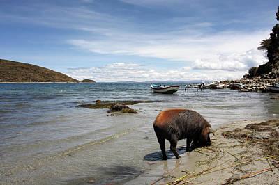 Photograph - Pigs On Isla Del Sol, Lake Titicaca by Aidan Moran