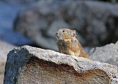 Brown Photograph - Pika by Gary Wing