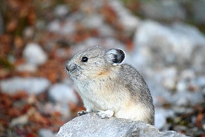 Photograph - Pika In Jasper National Park by Pierre Leclerc Photography
