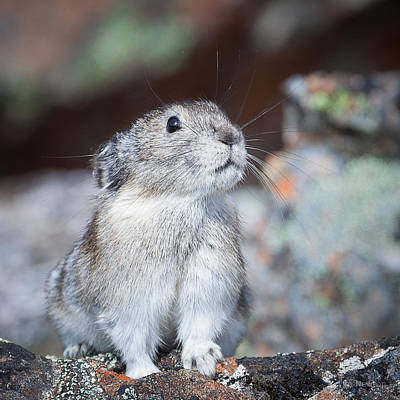 Art Print featuring the photograph Pika Portrait by Tim Newton