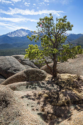 Photograph - Pikes Peak Bristlecone by Tim Newton