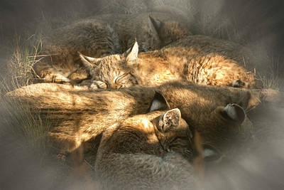 Art Print featuring the photograph Pile Of Sleeping Bobcats by Mary Lee Dereske