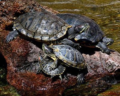 Photograph - Pile Of Sliders - Turtles by KJ Swan