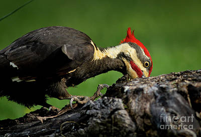 Pileated Woodpecker Photograph - Pileated 3 by Douglas Stucky